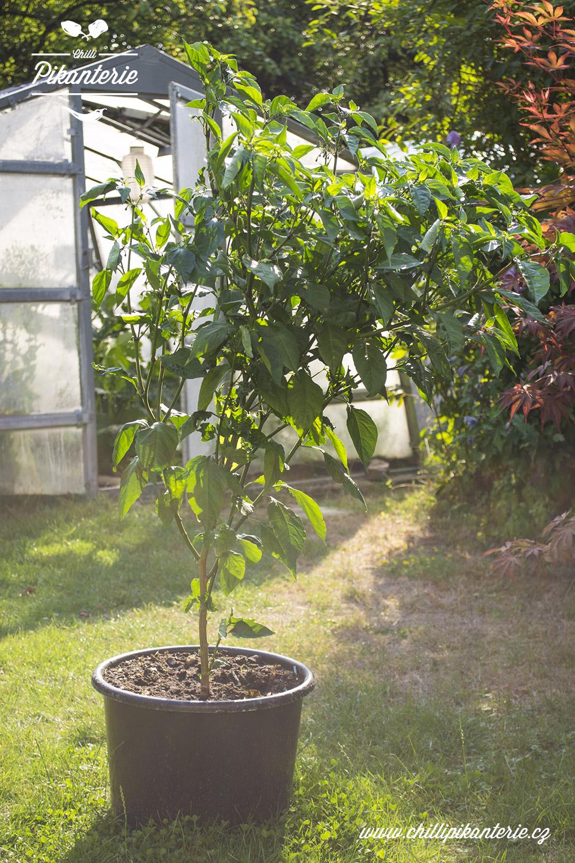 Carolina Reaper HP22B - Chilli Semínka | Chilli Pikanterie